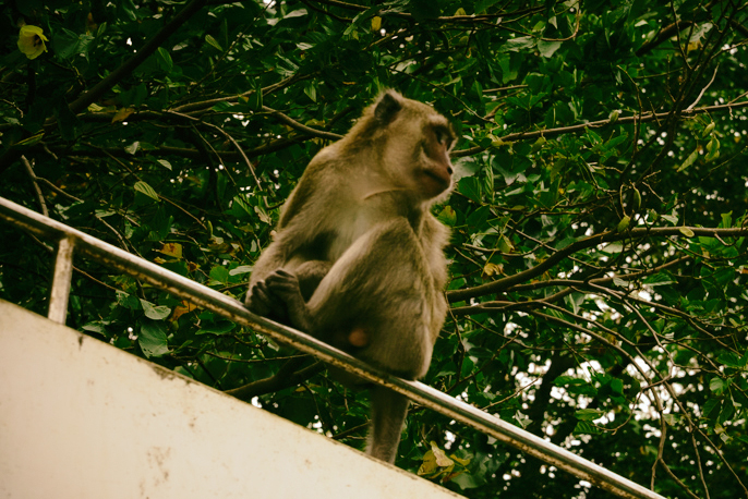 scimmie mauritius